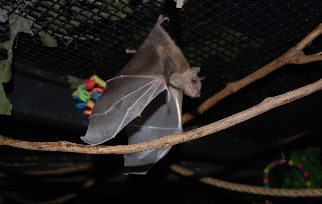 The daughter bat, after being rescued by Bat World Sanctuary